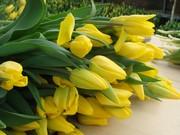 Тюльпан оптом к 8 марта примула ,  крокус,  гвоздика OSCAR.